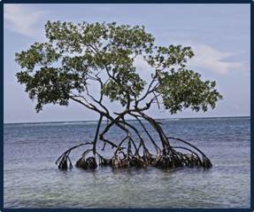Picture of Mangrove